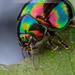 Rainbow Leaf Beetle by debatron500