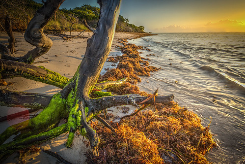 park morning sea tree beach grass sunrise honda keys dead weed state florida bahia trunks hdr sargasso sandspur