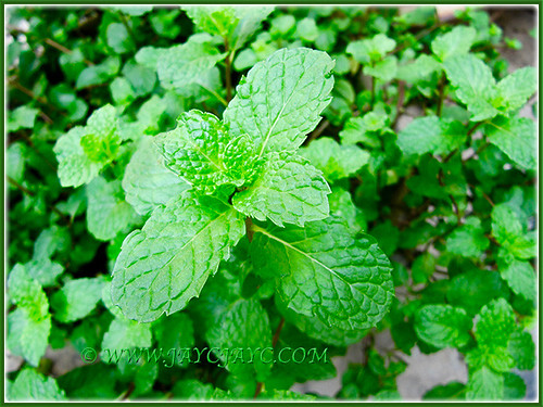 Potted luxuriant Mentha (Mint Leaf), growing in abundance at the backyard, Nov 5 2015