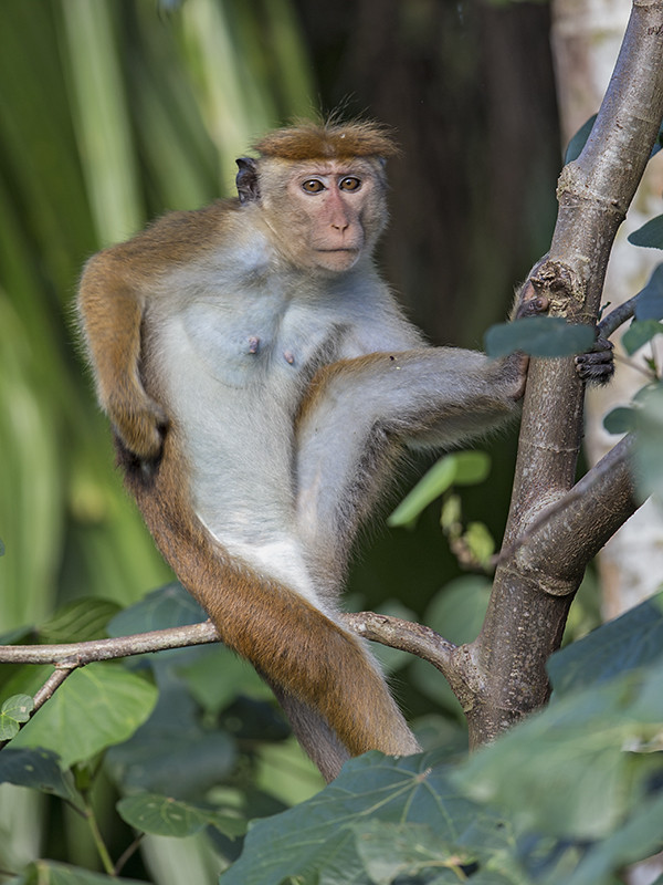Toque Macaque 2
