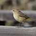 01 Palm Warbler by Dave Morro Bay Keeling