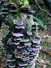 Many-zoned polypore, down in Jumble Hole