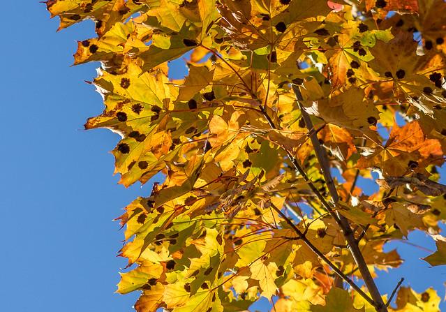 Autumn leaves, RICOH PENTAX K-3, smc PENTAX-DA 70mm F2.4 Limited