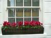 P1390349   Windowsill in Bloom, London SW3