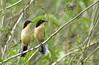Black-capped Donacobius (Donacobius atricapilla), Pantanal, Brazil
