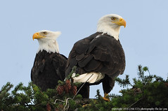 Bald Eagles - 2016
