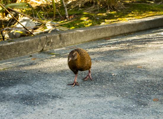 Weka - Milford Sound 21 7 15 K55635
