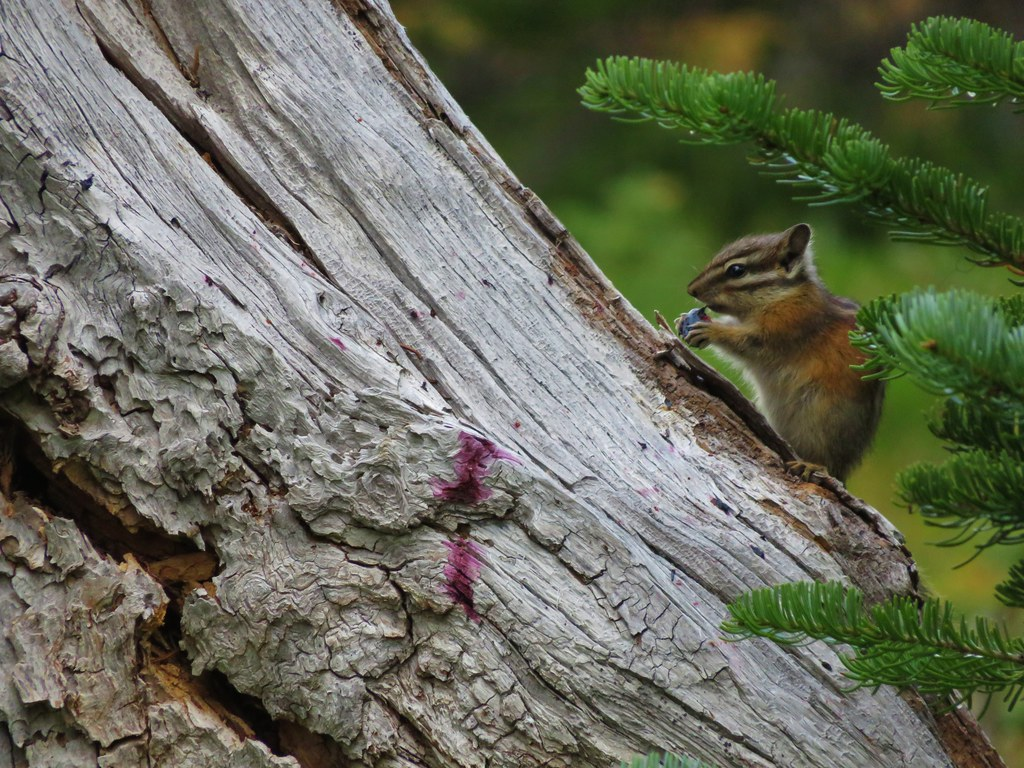 Chipmunk enjoying a berry
