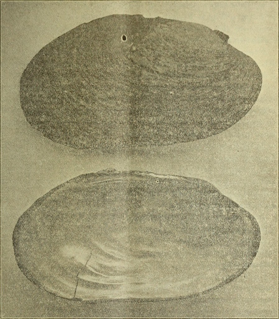 Image From Page 210 Of The Conchologists Exchange 1886