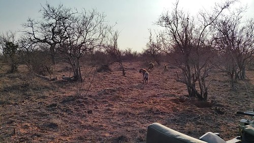 Pack of hyenas being tracked by a group of lions