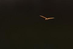 Grande aeschne en vol
