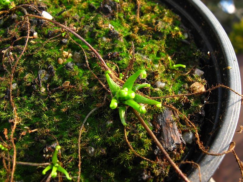 Drosera filiformis thread leaved sundew carnivorous plants seeds x30