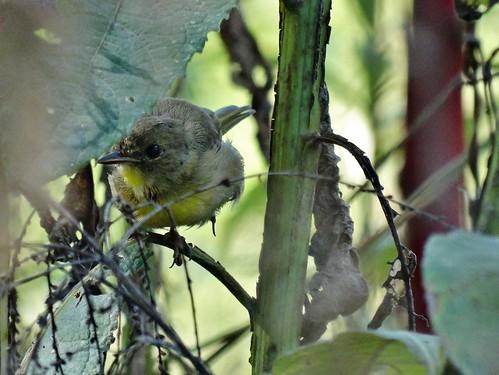 summer bird virginia warbler