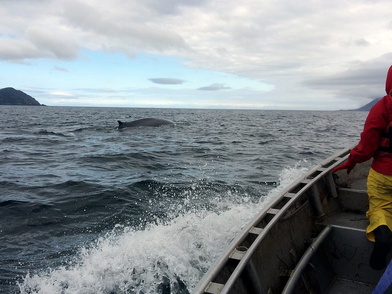 Fin Whale in Alaska