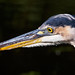 Great Blue Heron by Peter_Cameron