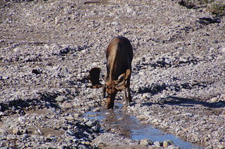 020 Eland in Denali NP
