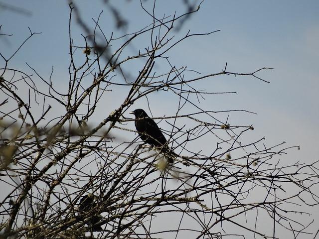 Cuervo en la Ruta Ornitológica del Bosque Animado