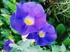 Violet Flower :)