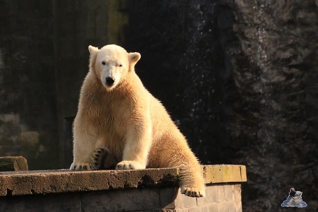 Eisbär Fiete im Zoo Rostock 31.10.2015 Teil 1  0148