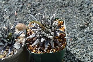 DSC_1027 Aloe florenceae