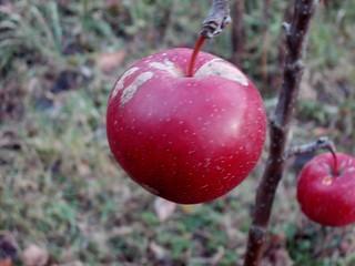 jabłuszka jeszcze na jabłonce