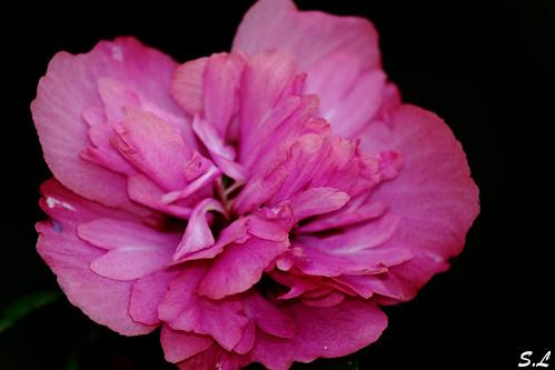 Flor vestida de rosa
