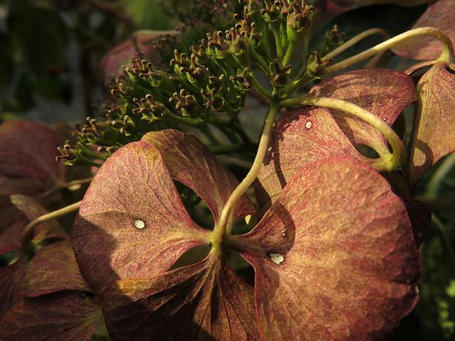 Macro of a dead Hydrangea flower in a 'Depth of Field' experiment