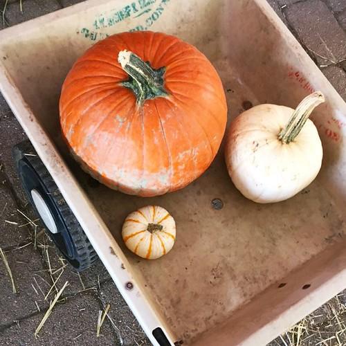 pumpkinswag
