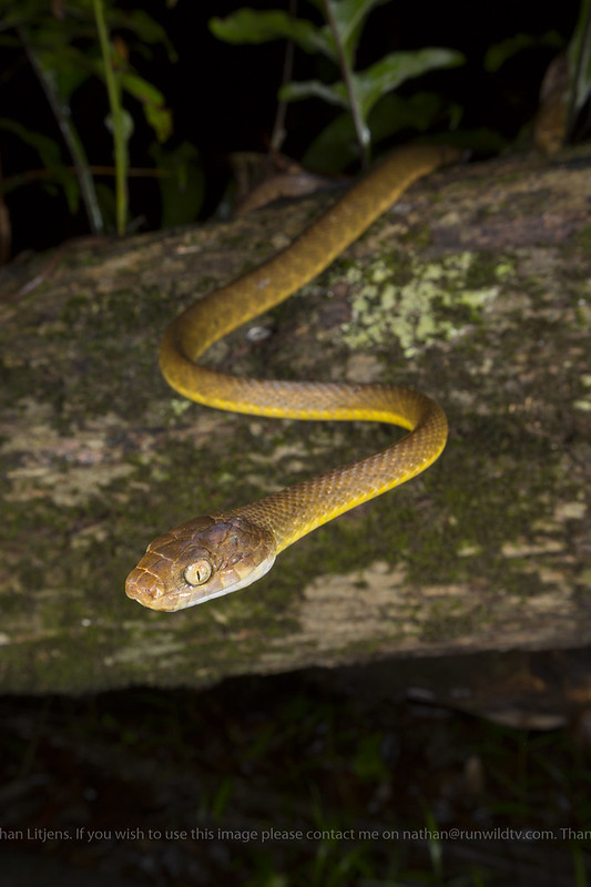 Brown Tree snake, night tiger (Boiga irregularis)