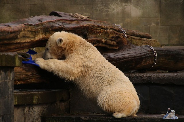Eisbär Fiete im Zoo Rostock  0219