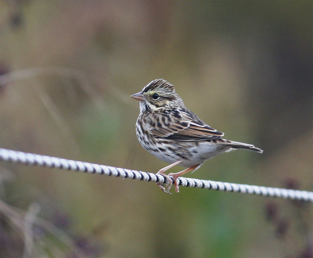 Savannah-Sparrow--44w