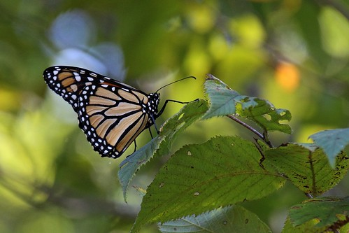 IMG_6168a_Monarch_Butterfly