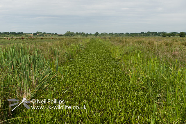 Fen raft spider habitat, water soldier filled ditch-2