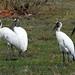 Wood Storks por cjlloyd2078