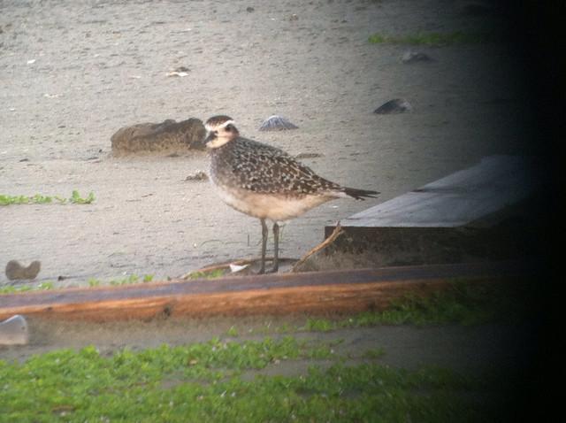 American Golden Plover, PINWR, Dare County NC 093015