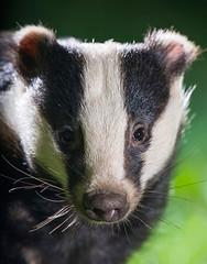 Badger Portrait by tobyhoulton