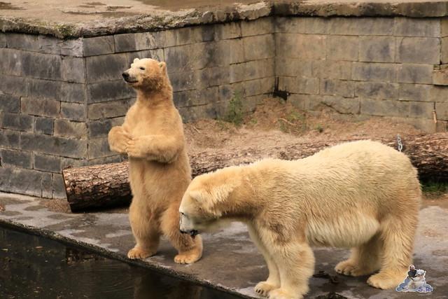 Eisbär Fiete im Zoo Rostock 19.09.2015 Teil 2  0165