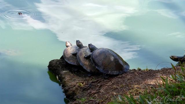 Belém150915 017 Mangal das Garças tartarugas em fila