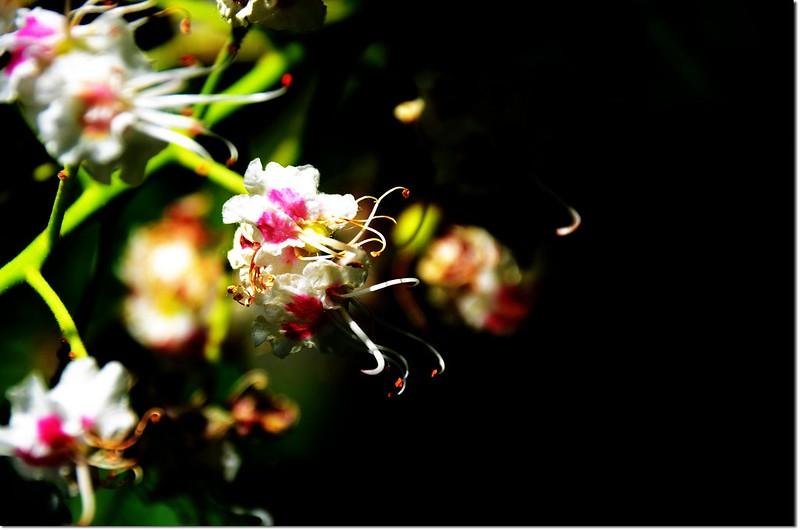 Horse Chestnut(七葉樹)~花 2