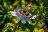 Passionflower looks over the fence in my garden... by scorpion (13)