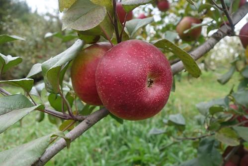 Keepsake apple