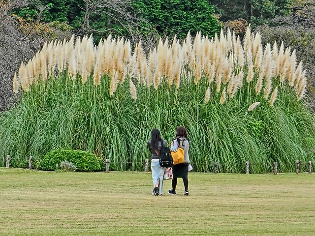 Photo:Pampas grass. シロガネヨシ, 白銀葭, パンパスグラス, By T.Kiya