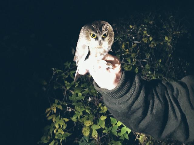 Owl Banding
