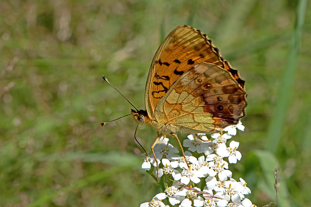 Brenthis daphne - the Marbled Fritillary