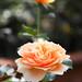 2016 Autumn Rose by shinichiro*
