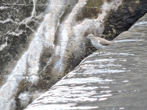Spotted Sandpiper #88