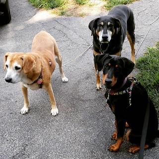 Happy Thursday! #dogsofinstagram #instadog #rescueddogsofinstagram #seniordog #houndmix #coonhoundmix #puppygram #dobermanpuppy #ilovebigmutts #ilovemyseniordog #rescuedismyfavoritebreed #adoptdontshop #instapuppy #rescuedpuppiesofinstagram