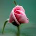 Rose by Hiranya Malwatta