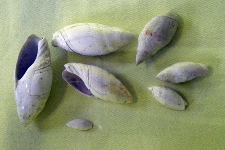Amalda glandiformis 21038345759_e41f58fa11_o