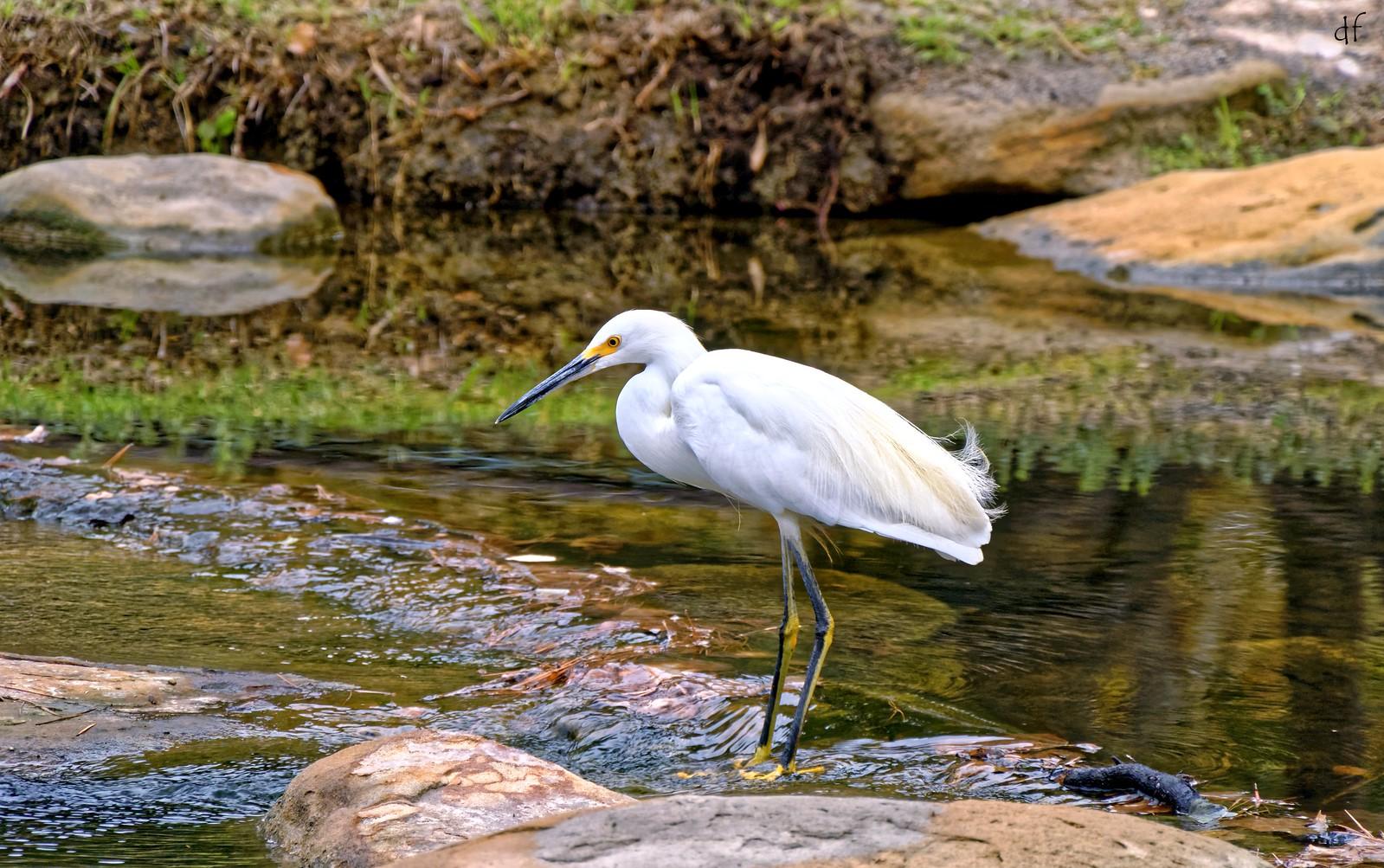 Snowy egret wade (Egretta thula)